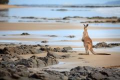 Beach Kangaroo
