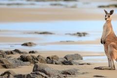 Beach Kangaroo Panoramic: